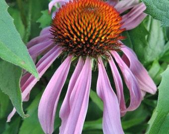 Purple Coneflower Closeup Photo