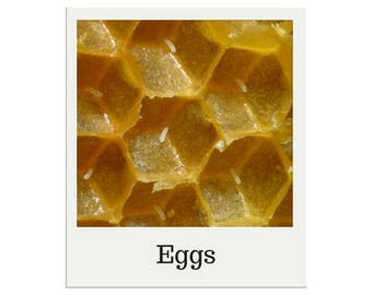 Life Cycle of a Honey Bee, Three Part Cards, Montessori, Science