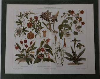 Old Print Houseplants 1  Lithograph