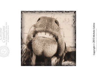 Laughing Cow Photo Smiling Cow Texas Longhorn Funny Silly Cows Sepia Toned or Gray Scale Black and White Signed Photo Art Ready to Frame.
