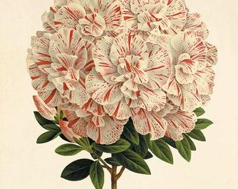 Azalea flower art print poster Botanical Art Prints antique prints French art print vintage Garden Wall Decor flower wall art flower print
