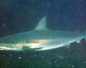 Dusky Shark tooth on Leather necklace. D2