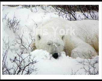 Polar Bear Sleeping in Snow Among the Willows, Churchill Canada, Wildlife, Animal Photography, Wall Art, Nature