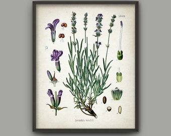 Lavender Wall Art Poster - Purple Plant Picture - Botanical Print - Antique Botanical Book Plate Illustration - Purple Flowers - AB576