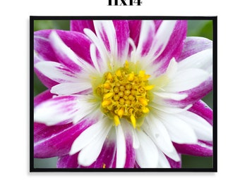 SALE Pink and White Dahlia - Framed 11x14 Print, Fine Art Photograph, Flower, Spring, Wildlife, Nature, Floral