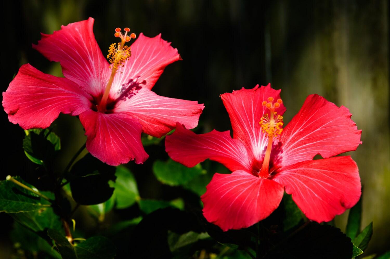 Red hibiscus flowers zoom izmirmasajfo