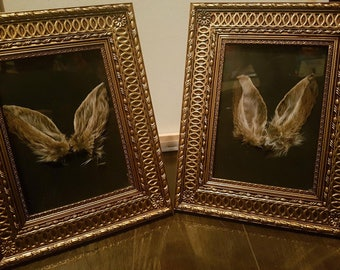 Real Framed Preserved Rabbit Ears