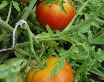 Tomato 'Silvery Fir Tree' - Heirloom Tomato Seeds
