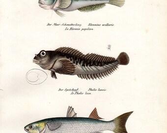 1836 Antique Fish Print Blenny, Mullet Brodtmann Fish Print Schinz Folio Pl 64