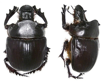 OVERSTOCK: Real Giant Dung Beetles, H. bucephalus pair