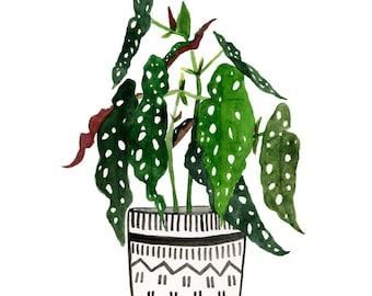 Die Begonia Maculata archivalische Druck von Lindsay Gardner
