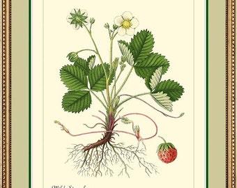 WILD STRAWBERRY - Botanical print reproduction -  301