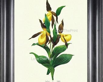 BOTANICAL PRINT Redoute Flower  Botanical Art Print 48 Tabot des Alpes Yellow FLower Nature to Frame