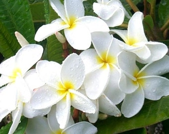 Fresh 12 Seeds Plumeria Frangipani. 4 Flower Colors at Package