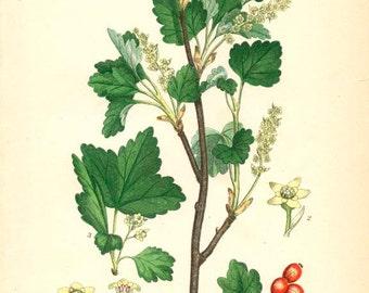 ALPINE CURRANT - Botanical Original Book Plate 282