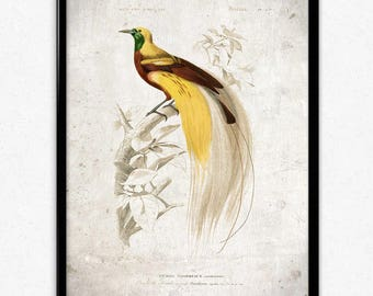 Bird of Paradise Vintage Print - Bird Poster - Bird Art - Bird Picture - Bird Illustration - Home Decor - Wall Art - Orbigny (VP1052)