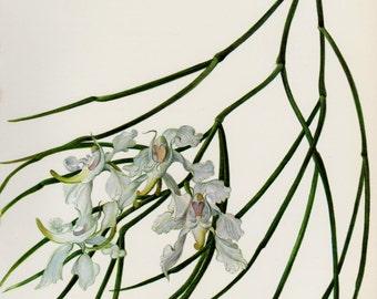 Antique Botanical Flower Print White Orchid Flower Print Cottage Decor Vintage Botanical Print Aerides Vandarum Gift for Gardener 2039