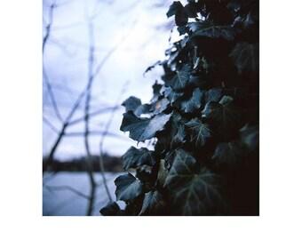 Tree, Ivy, Suffolk Signed Art Print / Botanical Tree Photography / Flora Ivy Photo