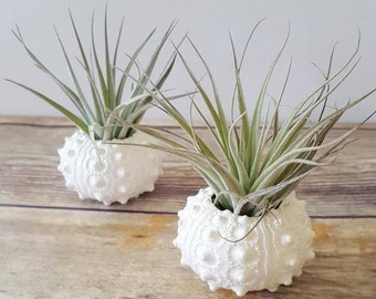 "Pair of Air Plants in White Hand Painted Sea Urchin Shells, ""Houston Cotton Candy"" Air Plants, Desk Plant, Unique Gift"