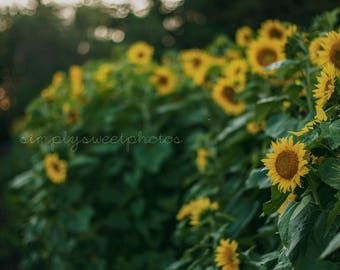 Digital Background Sunflower Garden