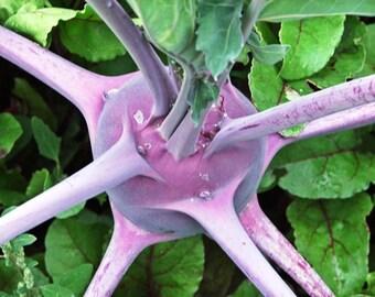 Kohlrabi Heirloom Early Purple Vienna Seeds Non-GMO Naturally Grown Open Pollinated Gardening