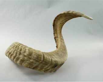 REDUCED***LARGE Merino Ram horn. RAW, 30 inches