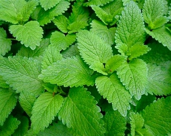 Lemon Balm Seeds, Melissa Officinalis- Organically and Sustainably Grown in Ottawa, Canada
