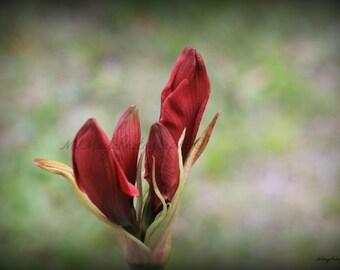 Amaryllis Flower / Red Blooming Flower / Red Flower / Free US Shipping / MVMayoPhotography