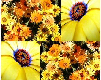 African Daisy Seed - Dimorphotheca sinuata - African Daisy Flower Seeds - BRILLIANT ORANGE YELLOW Color, Choose From 1,000 or 16,000