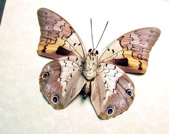 Real Framed Prepona Licomedes Verso Leaf Mimic Butterfly 8478