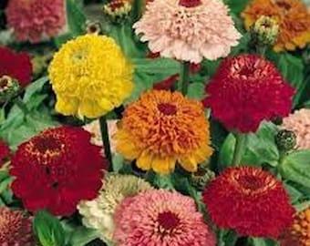 Zinnia- Scabiosa Flowered Mix- 100 Seeds