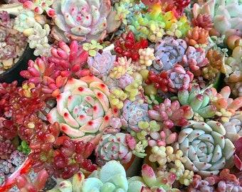 150 Mixed Succulent Seeds - 12 Kinds Succulents, Lithops, Living Stones Seeds, Rare Succulents, Potted Plant, Seeds, Garden Decor