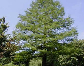 100 Common Bald Cypress Tree Seeds, Taxodium Distichum, Northern