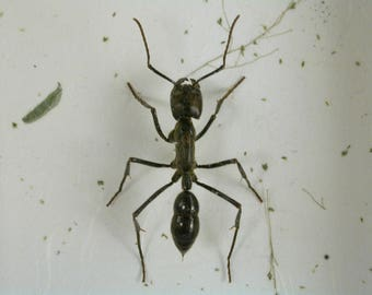 Giant Army Ant - Real Framed Insect