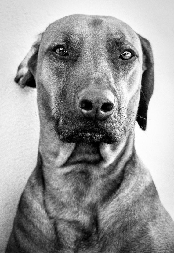 Dog Portrait,animal prints,pets,black and white print,limited edition print