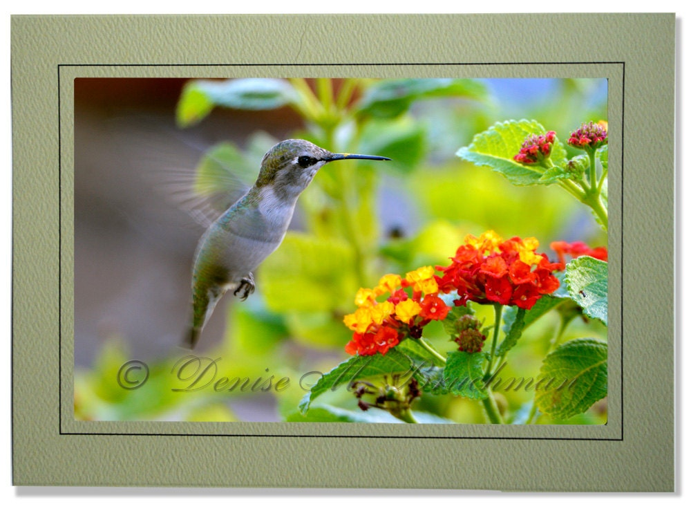 Hummingbird photo greeting card blank inside hummingbird zoom m4hsunfo