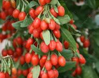 Goji berry - Lycium barbarum * Seeds  Organic!!  Nutritional and Antioxidant value.
