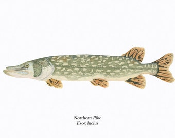 Fish Illustration/Northern Pike/ GICLEE PRINT/Ichthyology/Green
