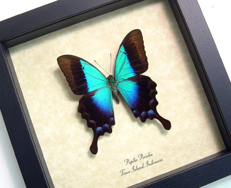 Framed Butterfly Rare Blue Glosswing Butterfly Framed Papilio
