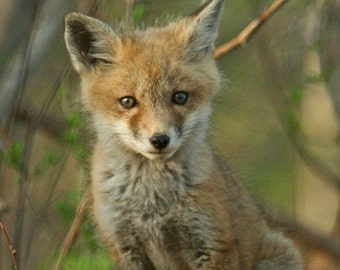 Red Fox - Set of Notecards