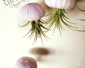 One Hanging Jellyfish Airplant, Air Plant, Sea Urchin Air Plant, Air Plants, Air Plant for Sale