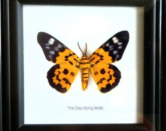 Framed butterfly. Real butterfly in frame. Lepidoptera Entomology collectables gift. Day flying moth Dysphania sp.