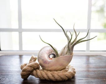 Pearlized Nautilus Shell Planter with Air Plant