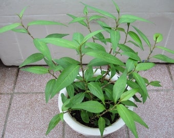 "LIVE 2 Vietnamese Coriander Plants  Vietnamese mint, Rau Ram Live  Plants fit 3"" Pot"