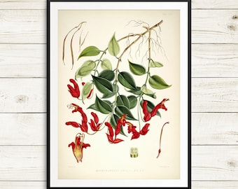 Botanical plate, botanical art, vintage botanical art set, large botanical print, Aeschynanthus bracteatus, lipstick vine, huge wall art set