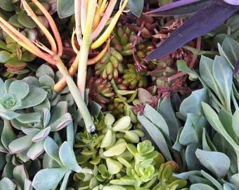 300 Succulent Cuttings