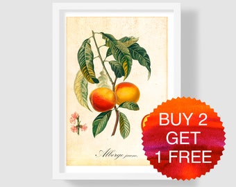 Antique Peach Art Print, Peach Botanical Illustration, Peach Wall Poster, Vintage Peach Wall Art, Peach Home Decor, Peach Copper Engraving