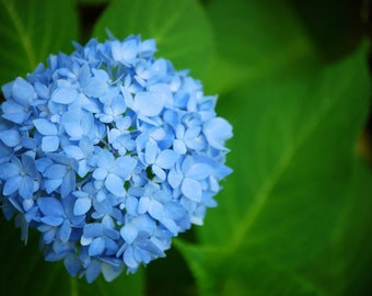 Hydrangea, Nature Photography