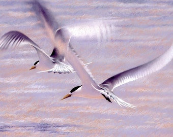 Crested Terns birds pastel - wildlife art - nature, limited edition print