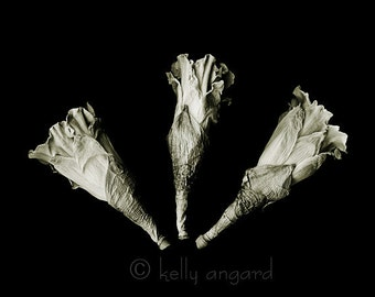 botannica obscura 7...botanical fine art photography by kelly angard